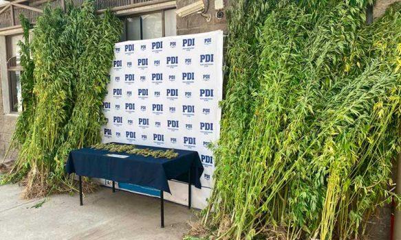 PDI incautó 200 plantas de cannabis en la comuna de Requínoa