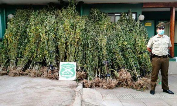 752 plantas de marihuana fueron descubiertas por Carabineros en Paredones