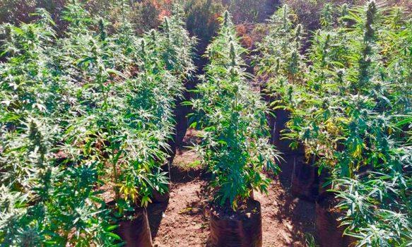 Descubren cultivo con más de 10 mil plantas de marihuana en Colchagua