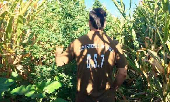 En maizal de La Palmilla Carabineros encontró plantación de marihuana