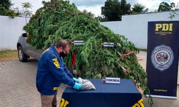 Sujeto ocultaba plantación de cannabis entre cultivo de maíz