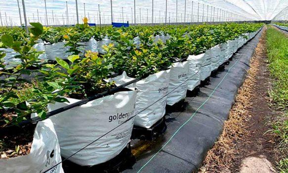 Innovadora tecnología permite a agricultores de berries evitar uso de agroquímicos